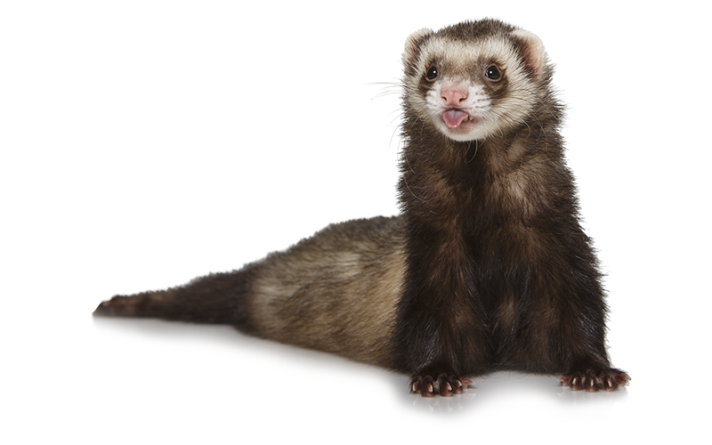 ferret-about